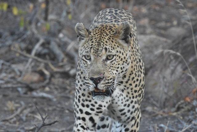 1豹 (50)