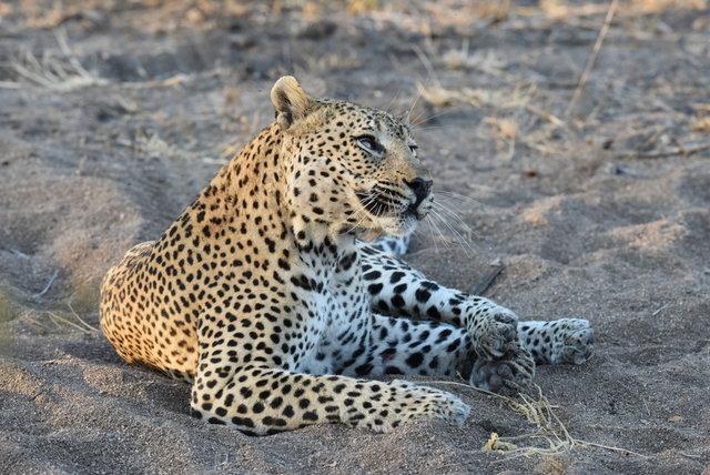 1豹 (35)