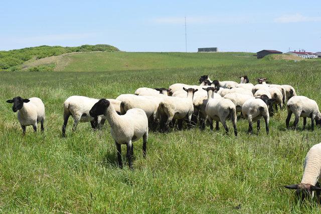 めん羊 (3)s