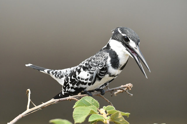 9Pied Kingfisher  (5)