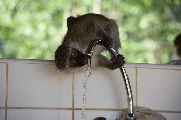 21 水飲むサル (21)