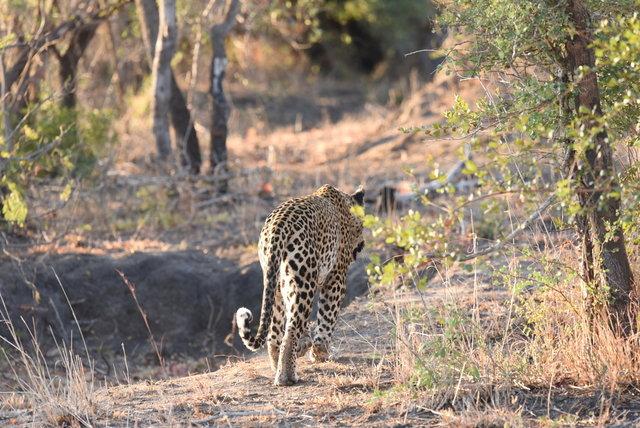 1豹 (1)