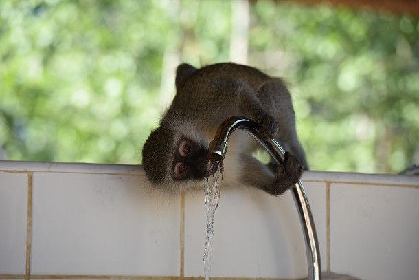 21 水飲むサル (31)