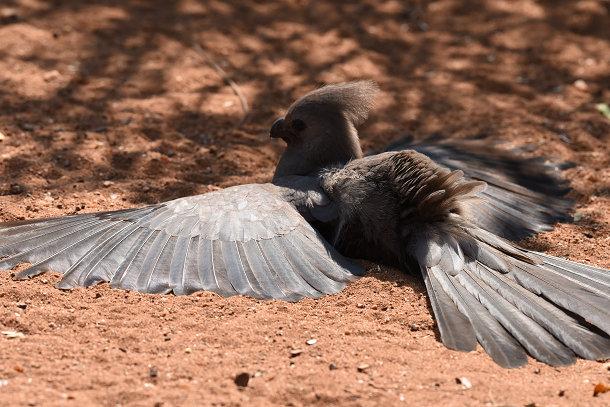 Grey bird (7)