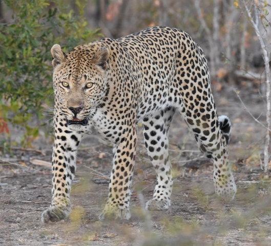 1豹 (52)-001