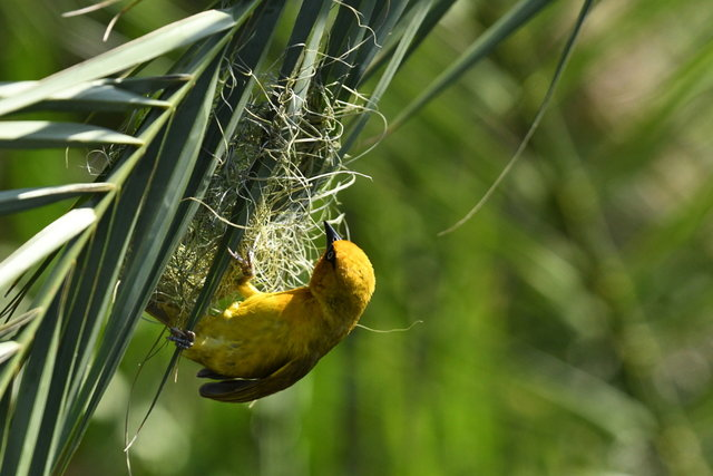 20Spectacled Weaver (2)