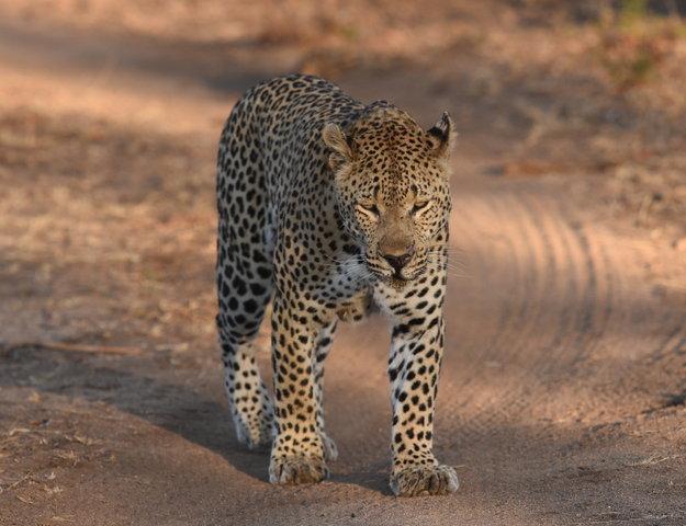 1豹 (13)