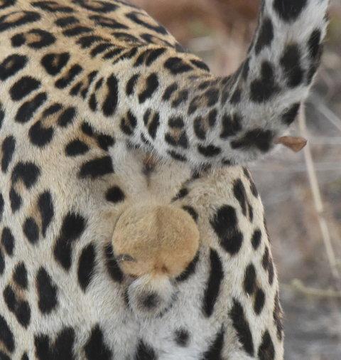 1豹 (27)-001