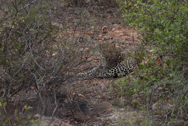 豹 (2)