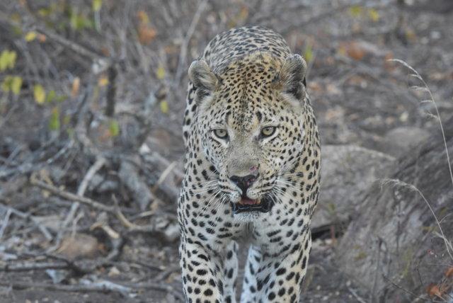 1豹 (49)