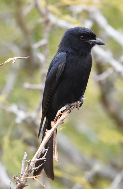 35Fork-Tailed Drongo