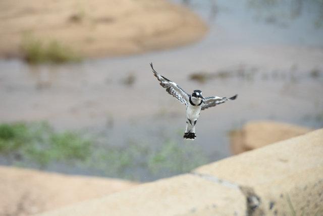 9Pied Kingfisher  (9)