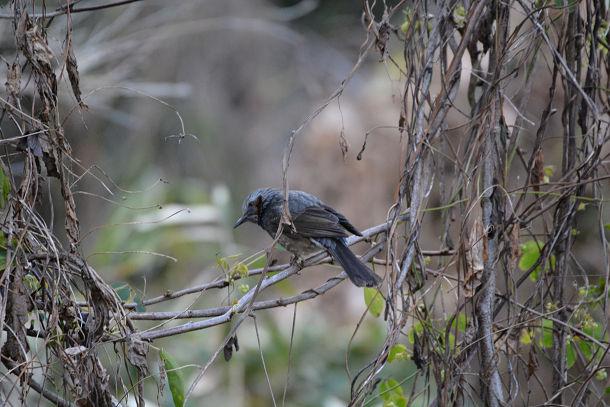 2カワセミみたいな鳥  (1)