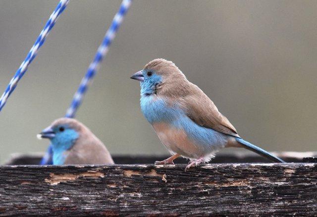 15 Blue waxbill (2)