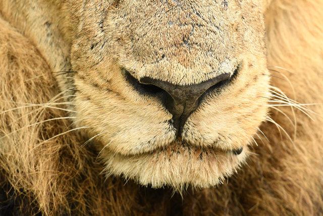 3ライオン  (4)