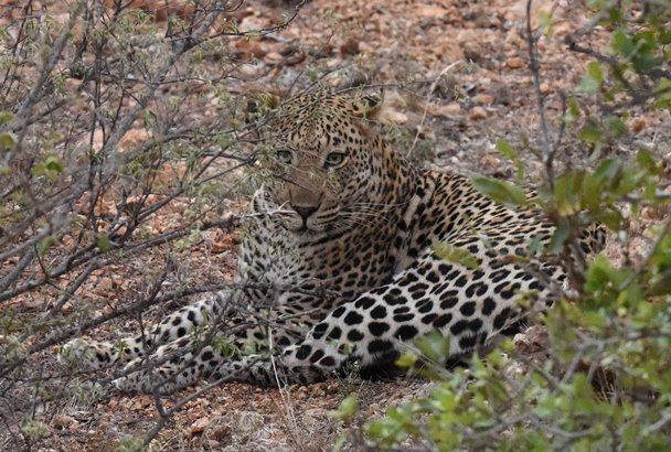 豹 (10)