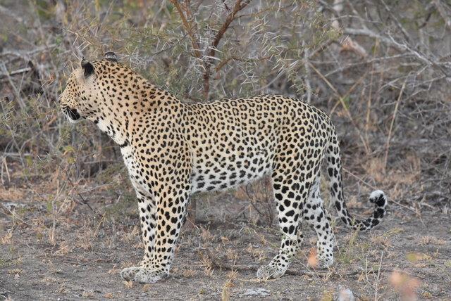 1豹 (29)