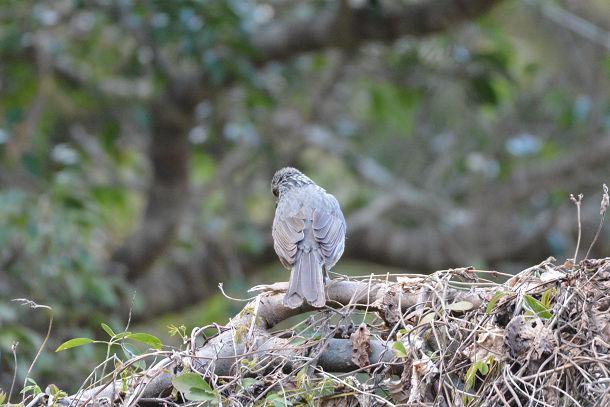 2カワセミみたいな鳥  (15)