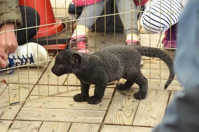 黒豹 (13)s