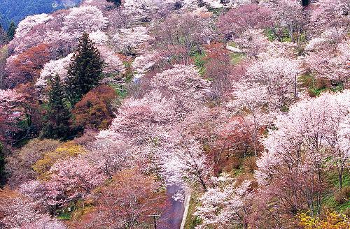 近鉄特急 桜 吉野