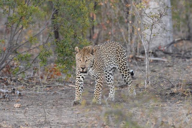 1豹 (52)