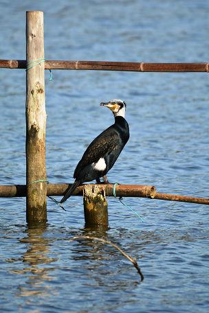 9正体不明の黒い鳥 (8)