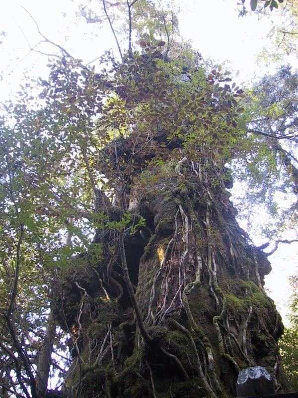 屋久島 杉
