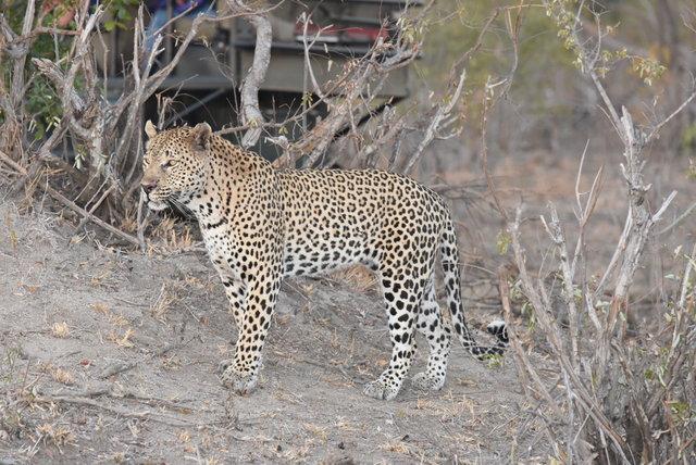 1豹 (32)