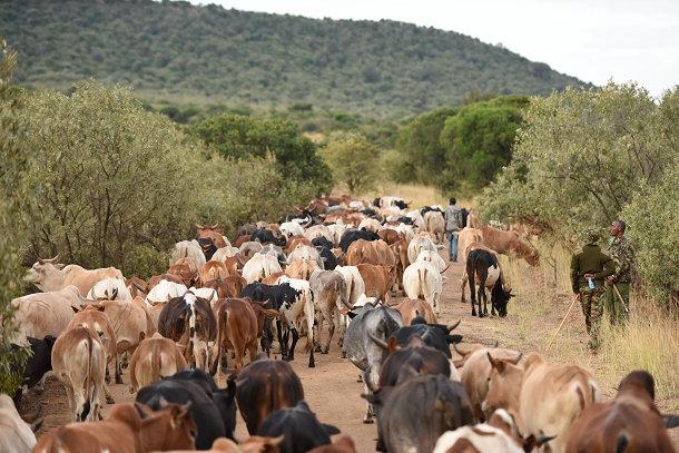 マサイの牛 (1)s