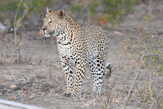 1豹 (53)