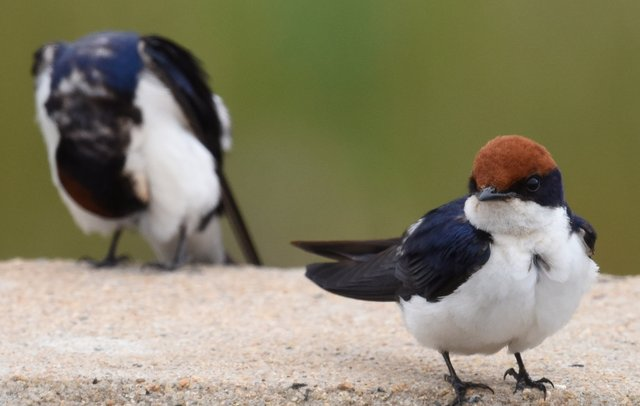 27Wire-tailed Swallow (2)