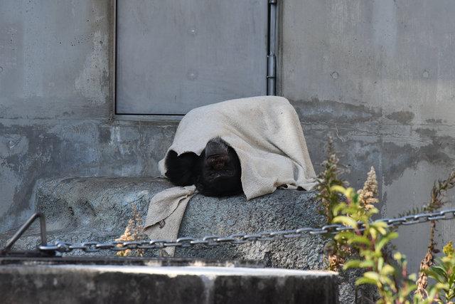 チンパンジー (2)s