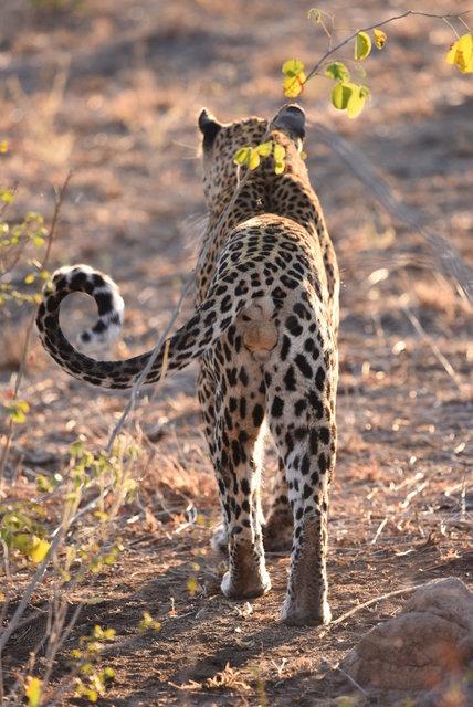 1豹 (20)