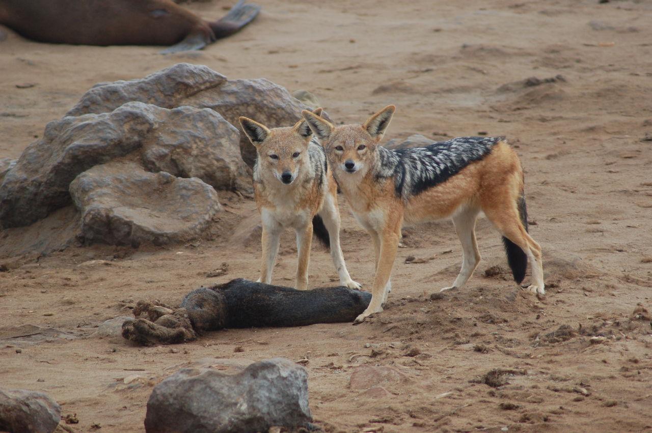 Seals_at_Cape_Cross,_Namibia_(3045699441)
