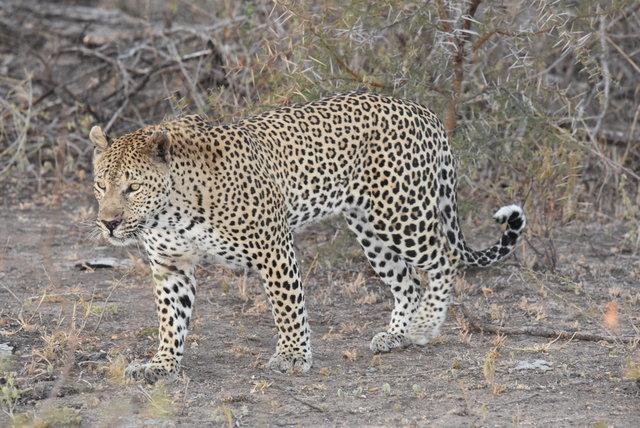 1豹 (30)