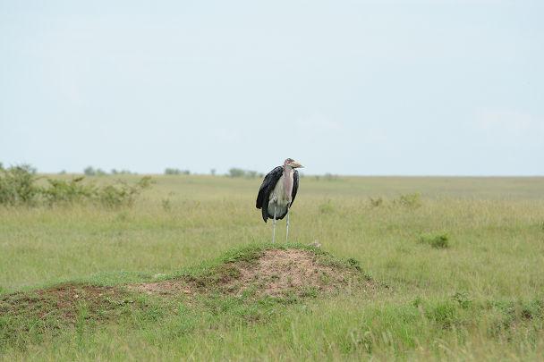 アフリカハゲコウ (1)s