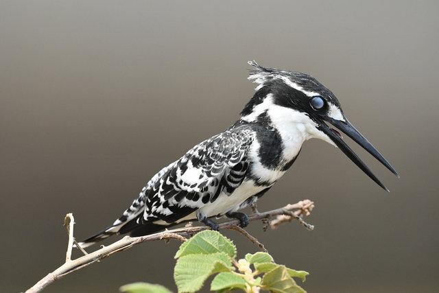 9Pied Kingfisher  (6)