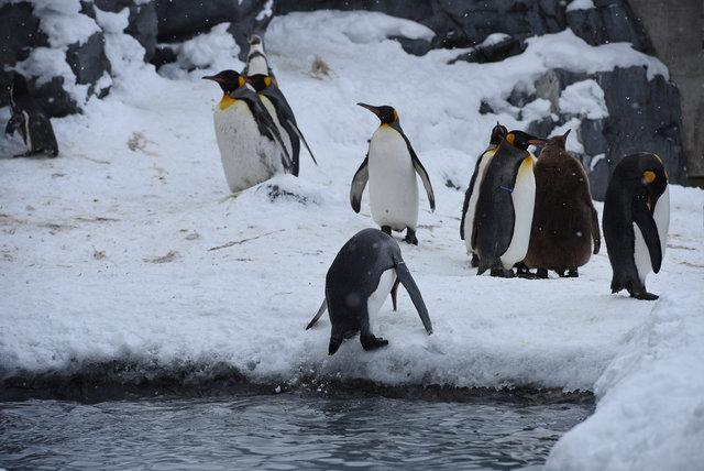 2日目ペンギン (19)s