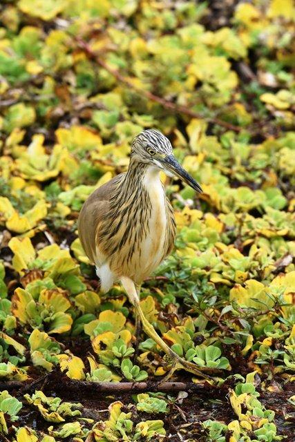 19Squacco Heron  (2)