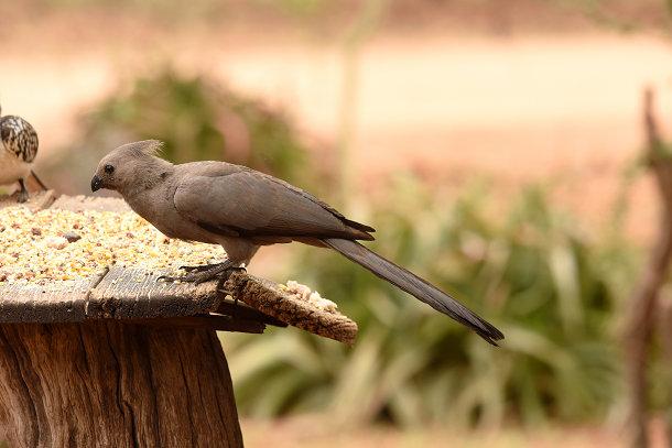 Grey bird (2)