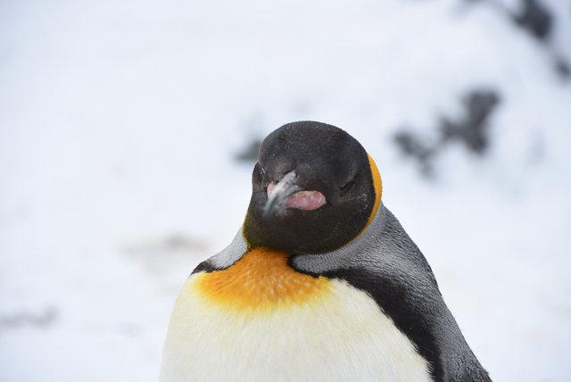 2日目ペンギン (32)s