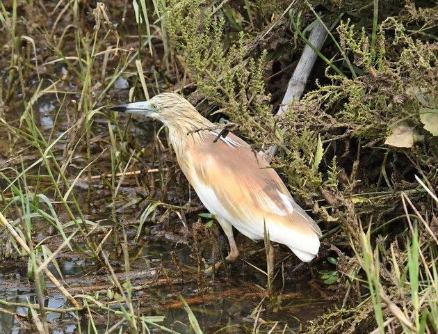 17Squacco Heron