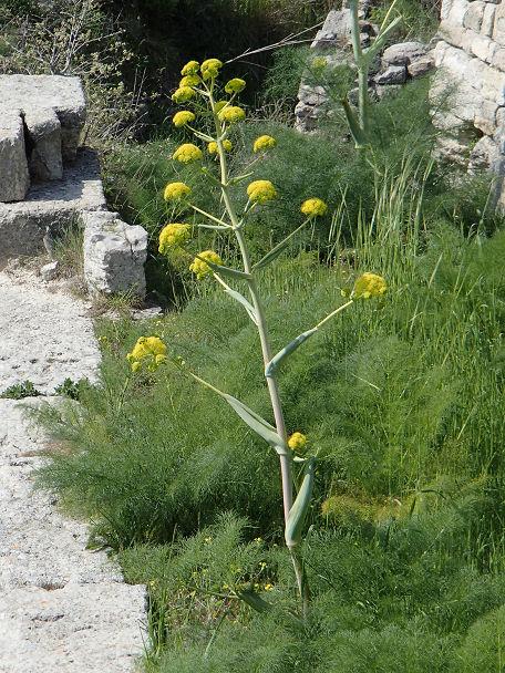 21菜の花
