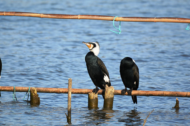 9正体不明の黒い鳥 (4)