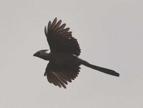 Grey bird (13)