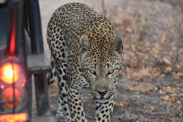 1豹 (25)