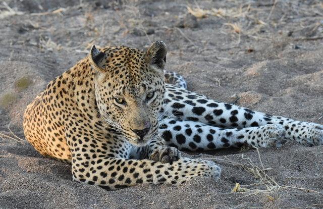 1豹 (39)