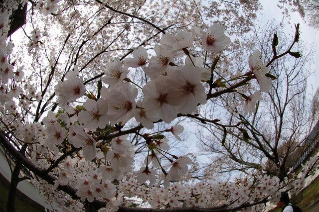 京都の桜 2008 211s