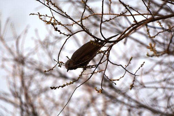 5山鳥 (11)