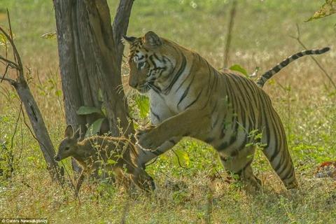Tiger_Bambi_01